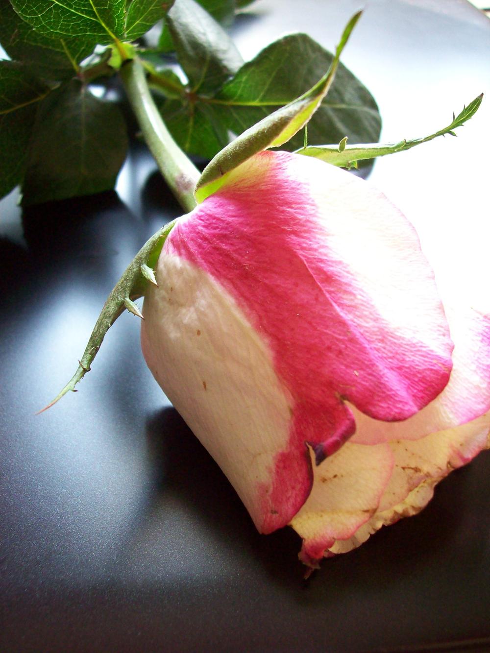 Die Rose 40 x 50